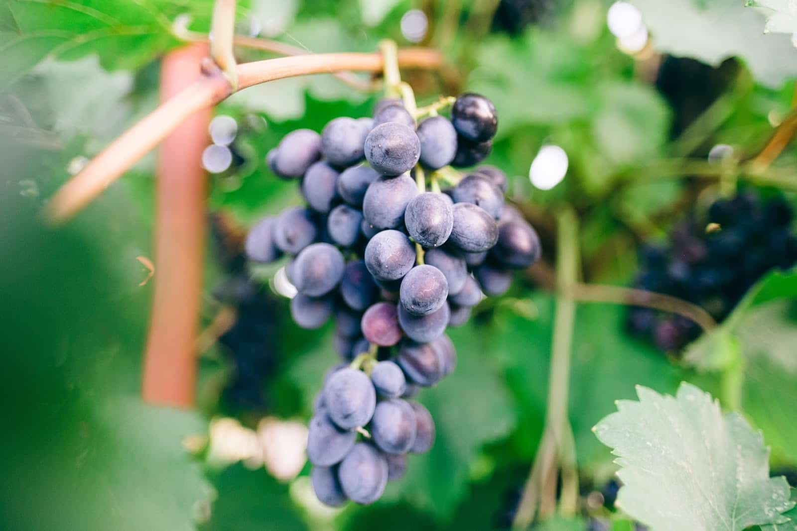 Vegan and Organic Wine- Everything You Should Know Featured Image