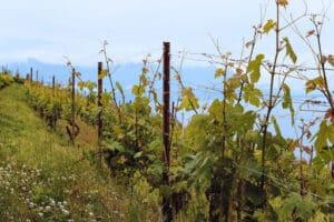 Santa Cruz vineyard vence lining the ocean